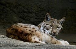Een Europees-Aziatische lynx royalty-vrije stock foto