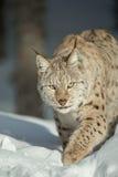 Een Europees-Aziatische Lynx in Sneeuw Stock Foto