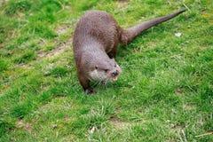 Een Europees-Aziatische Otter omhoog dicht op de banken van een vijver stock afbeelding
