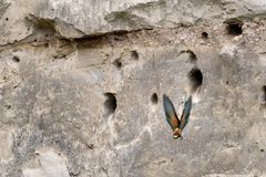 Een Europese bij-eter Merops die apiaster vanaf nest vliegen stock afbeeldingen