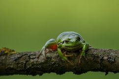 Een Europese boomkikker op een tak die naar de lens kijken stock foto's