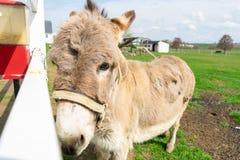 Een ezel die door een witte omheining gluren stock foto's