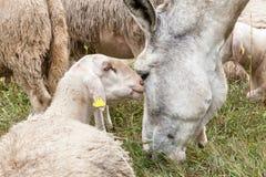 Een ezel en een schaap die knuffel hebben royalty-vrije stock foto's
