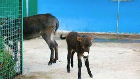 Een ezel en een veulen stock footage