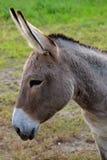 Een ezel van de daimkleur bij een lokaal landbouwbedrijf. stock afbeelding