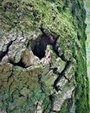 Een fabelachtig vreselijk monster leeft in de schors van deze boom Er zijn littekens en rimpels op zijn gezichten Royalty-vrije Stock Afbeelding
