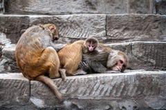 Een familie die van apen haar baby behandelen Stock Foto