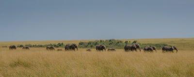 Een familie die van olifanten door de savanne lopen stock foto
