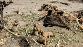 Een Familie die van Prairiehonden dagelijkse ondernemingen behandelen royalty-vrije stock afbeeldingen