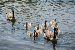 Een Familie van de Ganzen van Canada gaat want zwem Stock Fotografie