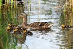 Een familie van eenden, moedereend Stock Afbeelding