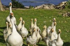 Een familie van ganzen stock foto's