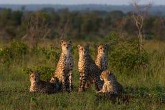 Een familie van jachtluipaard zit samen in een open opheldering stock afbeelding