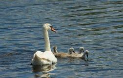 Een familie van jonge zwaan met haar moeder die op een beschermd gebied zwemmen stock afbeeldingen
