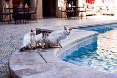 Een familie van katten die door de pool willen zonnebaden Royalty-vrije Stock Foto