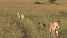 Een familie van leeuwen in de vlaktes stock footage
