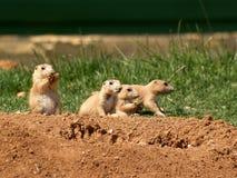 Een familie van Prairiehonden Stock Foto's