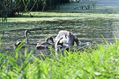 Een familie van zwanen het gladstrijken Stock Foto
