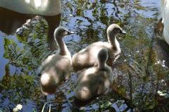 Een familie van zwanen met kereltjes stock foto's