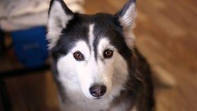 Een fascinerend close-up van mooie Schor met mooie bruine droevige ogen stock footage