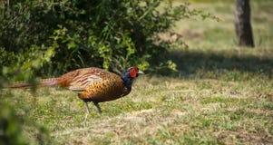 Een fazant is op het gebied Stock Foto