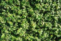 Een ficus groene muur Stock Afbeelding