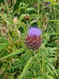 Een fijn specimen van een mooie purle bloeide Schotse Thisle royalty-vrije stock foto's