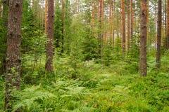 Een fins bos in de zomer stock fotografie