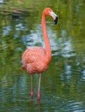 Een flamingo Stock Foto's