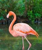 Een flamingo Stock Afbeelding