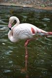 Een flamingo die in het water dansen stock afbeelding