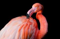Een flamingo die verzorgen Royalty-vrije Stock Afbeeldingen