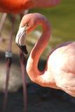 Een flamingo in profiel Royalty-vrije Stock Fotografie