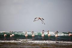 Een flamingo tijdens de vlucht Royalty-vrije Stock Foto