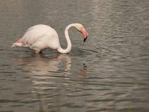 Een flamingo in water, Regionaal Aardpark van Camargue, Frankrijk Stock Foto