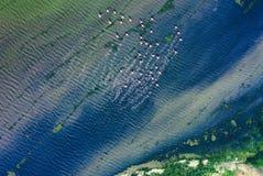 Een flamingotroep tijdens de vlucht Royalty-vrije Stock Foto's