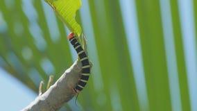 Een fluweelworm die blad op een boomtak eten stock video