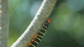 Een fluweelworm kruipt op een boomtak stock videobeelden