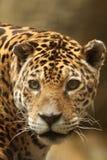 Een foto van een mannelijke jaguar royalty-vrije stock fotografie