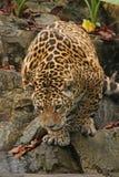 Een foto van een mannelijke jaguar stock afbeeldingen