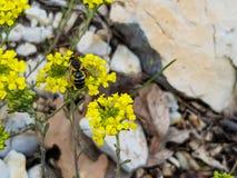 Een foto van honingbij op een gele bloem in de heuvels stock foto