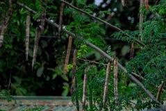 Een foto van een moringa boom met zaden stock fotografie