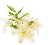 Een fragment van witte lelies 'bundelt Royalty-vrije Stock Foto's