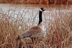 Een Gans die van Canada zich onder het droge riet bevinden royalty-vrije stock foto's