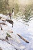Een gans die zich op een rots bij een meer bij zonsopgang met de zon bevinden was Stock Foto