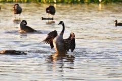 Een gans van Canada is met klaar het schoonmaken van zijn veren en plonsen in het water De waterdruppeltjes kunnen worden gezien stock afbeeldingen