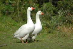 Een ganzenpaar Royalty-vrije Stock Foto's