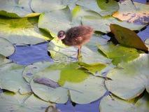 Een geïsoleerd kuiken onder waterleliebladeren royalty-vrije stock afbeelding