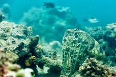 Een geïsoleerde dichte omhooggaande inktvis van de portret kleurrijke pijlinktvis onderwater Stock Foto