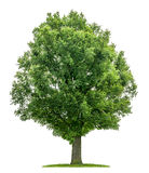 Een geïsoleerde eiken boom